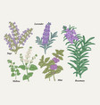 hand drawn rosemary pepper mint melissa sage vector image vector image