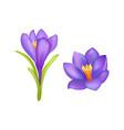 crocus springtime flowers blooming purple buds vector image