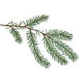 green fir branch vector image vector image