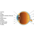 structure of human eye section poster vector image vector image