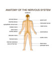 anatomy of the nervous system vector image vector image