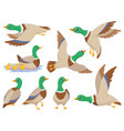 wild ducks mallard duck cute flying goose vector image