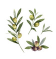 watercolor set olive branches and leaves vector image