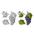 bunch of grapes with berry and leaves vintage vector image vector image