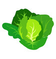 green cabbage isolated white vector image vector image