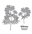 hand drawn valerian with leaves and flowers vector image vector image