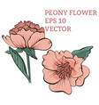 hand drawn peony flower in vector image