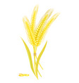 ripe golden wheat grains of which produce bread vector image vector image