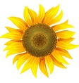 yellow flower of sunflower vector image