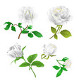white roses with buds and leaves vintage vector image vector image