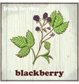 Hand drawing of blackberry Fresh vector image