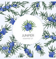 juniper essential oil label or tag template vector image