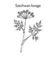 szechwan lovage ligusticum wallichii medicinal vector image vector image