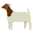 Farming today boer goat doe