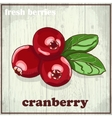 Hand drawing of cranberry Fresh vector image vector image
