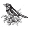 black and red broadbill vintage vector image vector image