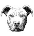 pitbull dog vector image