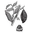 cacao tree vintage vector image vector image