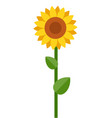one blooming sunflower flat isolated vector image vector image