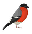 bullfinch winter bird isolated on white background vector image