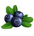 Ripe summer blueberry with leaves vector image