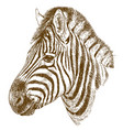 engraving of zebra head vector image vector image