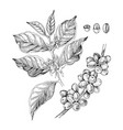 hand drawn coffee branches with vector image vector image