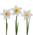 white daffodils narcissus poeticus 3d vector image