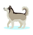 pretty alaskan malamute icon big furry dog vector image