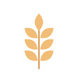wheat or barley ears branch grains harvest on vector image