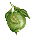 lime fruit of round shape with leaves on the vector image