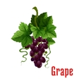 Black grape fruit botanical icon vector image