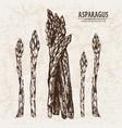 digital detailed line art asparagus vector image vector image
