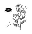 bidens drawing isolated apache beggarticks vector image vector image