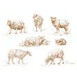 engraving three sheep vector image