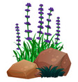 lavender flowers and rocks on white background vector image vector image