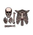 human skeleton set vector image