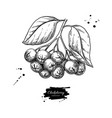 chokeberry drawing hand drawn botanical vector image