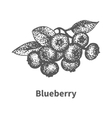 Sketch blueberry with leaves and branches vector image