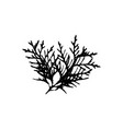 thuja tree leave silhouette plant and nature vector image