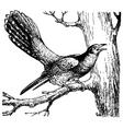 cuckoo cuculus canorus vector image vector image