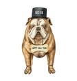 watercolor english bulldog with black vector image