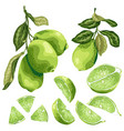 lime parts set with lime fruit on the branch vector image