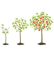 Growth cycle from seedling to fruit tree vector image vector image