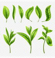 realistic tea leaves on transparent vector image vector image