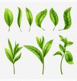 realistic tea leaves on transparent vector image