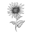 sunflower plant sketch engraving vector image vector image