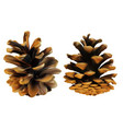 two pine cones in different angles high detailed vector image vector image