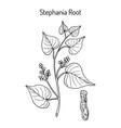 stephania tetrandra medicinal plant vector image vector image