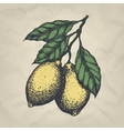 Branch with lemons hand drawn vintage style vector image